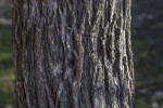 Cedar Elm Trunk Close-Up