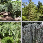 Cedar Trees photographs