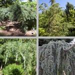 Cedar Trees photographs