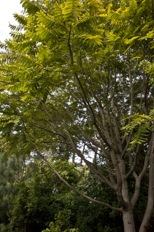 Cedrela salvadorensis with Numerous Branches