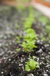 Celery Root Rows
