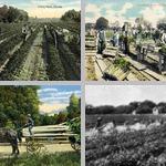 Celery photographs