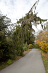 Cement Trail with Weeping Sequoia and Persian Parrotia