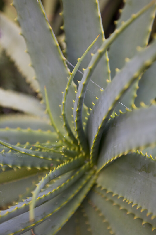 Center of a Candelabra Aloe
