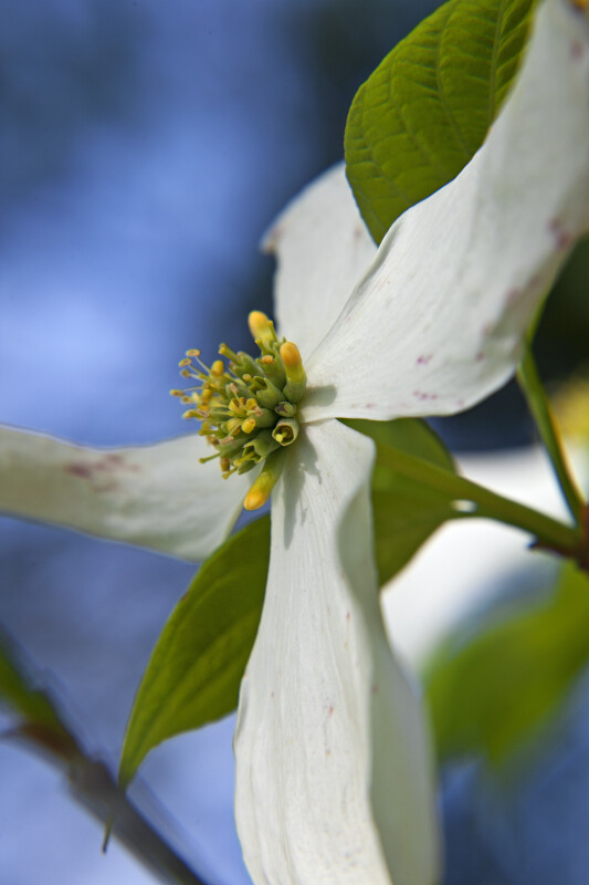 Center of a Dogwood Flower