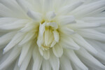 Center of Dahlia Flower