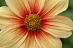 """Center of """"Fee"""" Hybrid Dahlia Flower"""