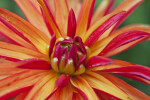 Center of Hybrid Dahlia Flower
