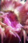 Center of Pink Sea Anemone