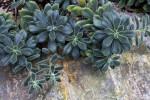 Cephalocleistocactus chrysocephalus
