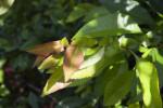 "Chaenomeles japonica ""Sargentii"" Branch"