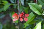 "Chaenomeles japonica ""Sargentii"" Flowers"