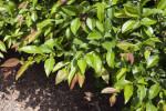 """Chaenomeles speciosa """"Rubra Grandiflora"""" Branches"""
