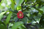 "Chaenomeles speciosa ""Rubra Grandiflora"" Flower"