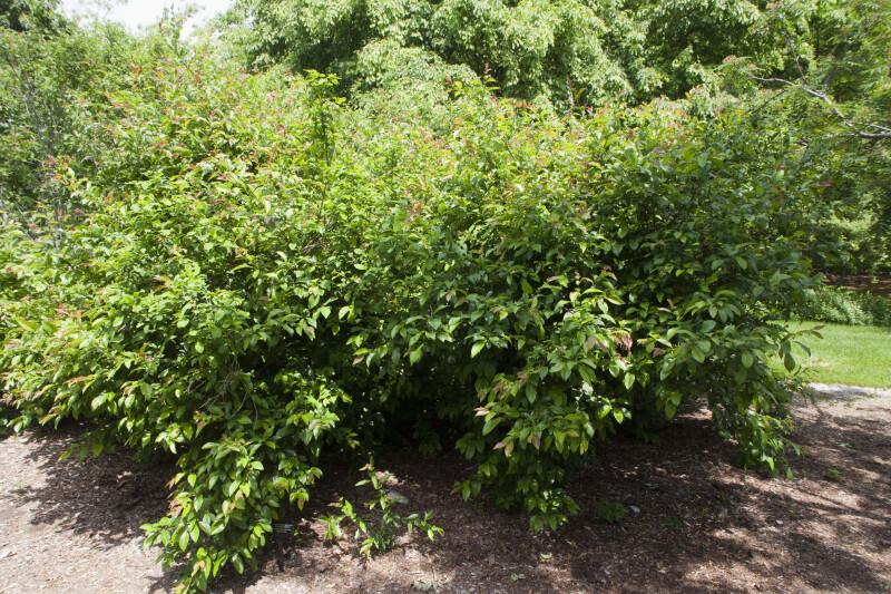 """Chaenomeles speciosa """"Rubra Grandiflora"""""""