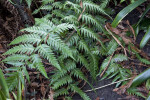 Chain Fern Leaves