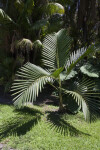 (Chambeyronia macrocarpa) Palm