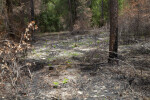 Charred Pine Tree and Blackened Ground