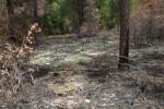 Charred Pine Tree and Blackened Ground