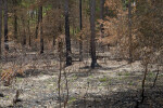 Charred Trees and Ground at Chinsegut Wildlife and Environmental Area