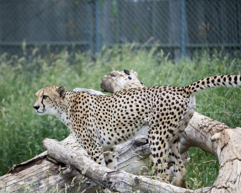 Cheetah and Log