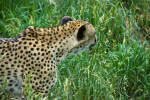 Cheetah from Side