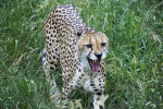Cheetah Walking and Yawning