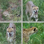 Cheetahs photographs