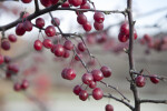 Cherries Hanging from Branches
