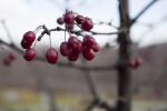 Cherry Tree Fruit