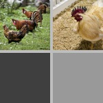 Chickens photographs
