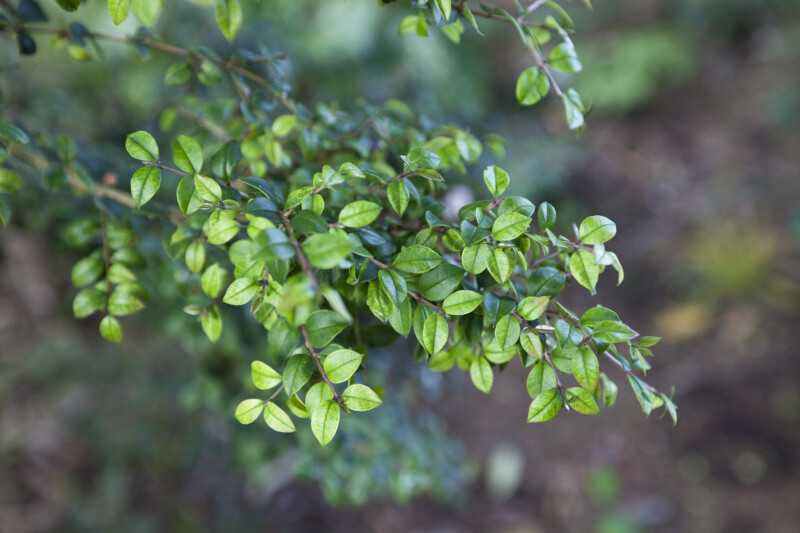 Chilean Myrtle Branch