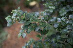 Chilean Myrtle Branch