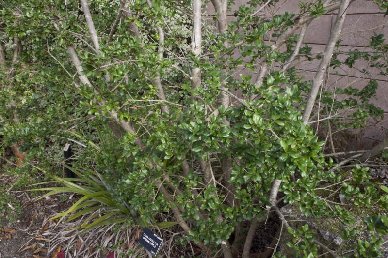 Chilean Myrtle Branches