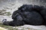 Chimpanze Resting