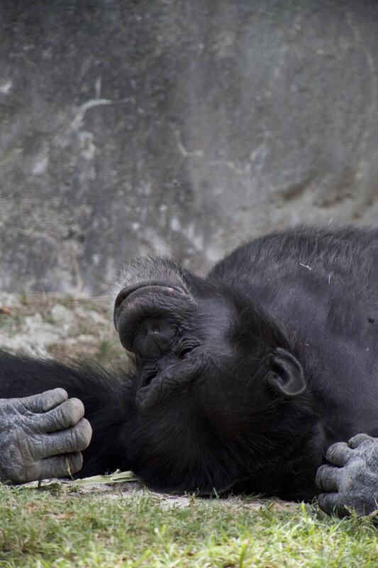 Chimpanzee in Grass
