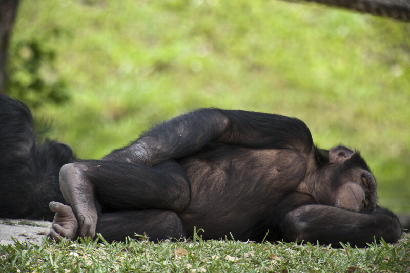 Chimpanzee Napping