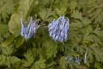 """""""China Blue"""" Fumewort Flowers"""