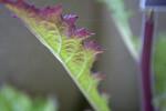 Chinese Foxglove Leaf