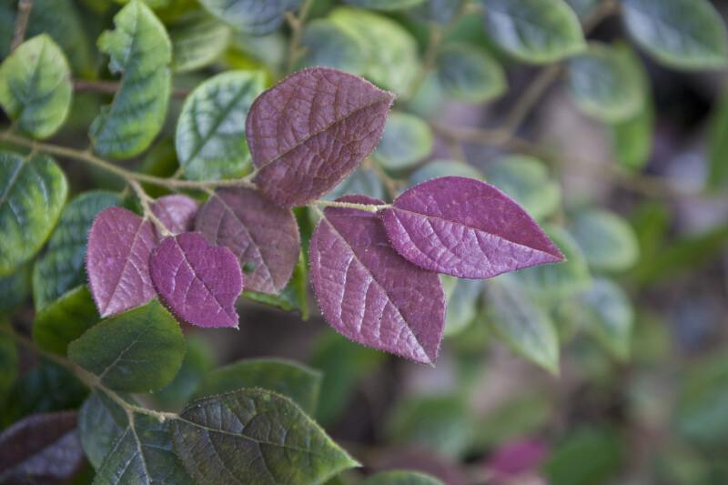 Chinese Fringe Flower Purple Leaves