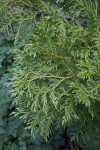 Chinese Incense Cedar Leaves