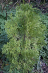 Chinese Incense Cedar