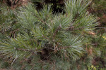 Chinese Juniper Branches