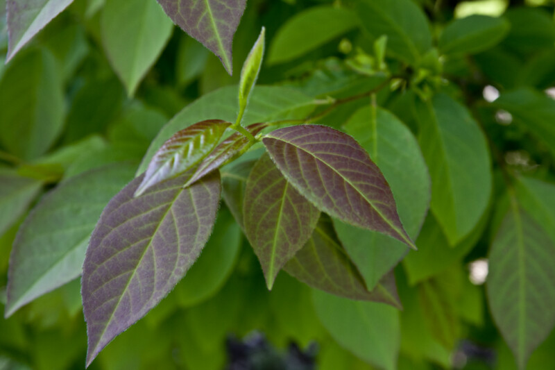 Chinese Stewarta Leaves