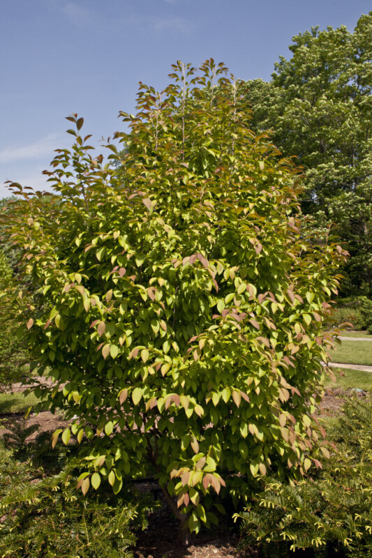 Chinese Stewarta Tree at the Arnold Arboretum of Harvard University