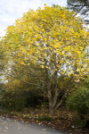 Chinese Tulip Tree