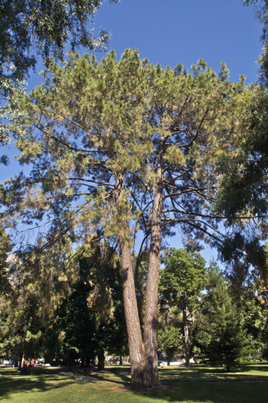 Chir Pine Tree with Split Trunk at Capitol Park in Sacramento