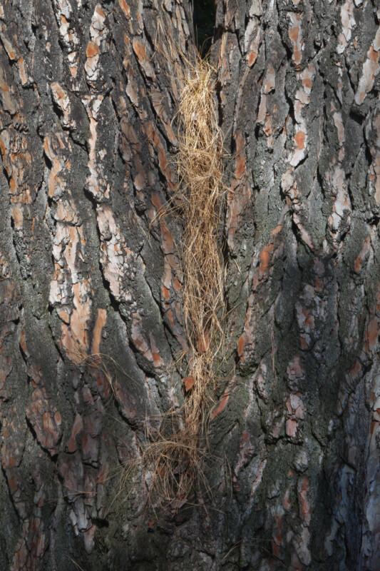 Chir Pine's Tree Trunk