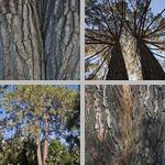 Chir Pines photographs