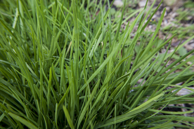 Chive Plant Close-Up